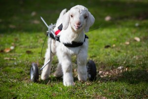 """Frostie the goat dies today: Image credit """"Edgar's Mission"""""""